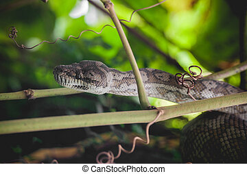 Python looking for prey in the trees in a rainforest