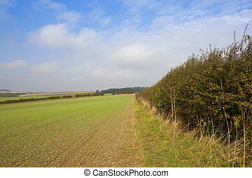 autumnal hedgerow and wheat - an autumnal hawthorn hedgerow...