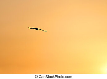 seagull with immense wingspan flying - large seagull with...