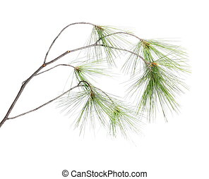conifer branch isolated on white