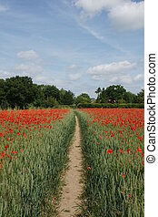 Public Path - British Public Footpath through poppy filled...