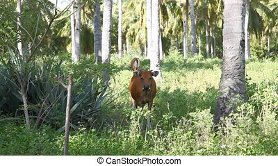 Bulls in tropical forest  - Gili Meno island , Indonesia