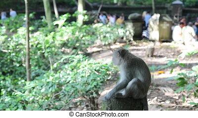 Wild monkey in Indonesia, Bali
