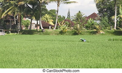 Indonesian farmer working on rice f