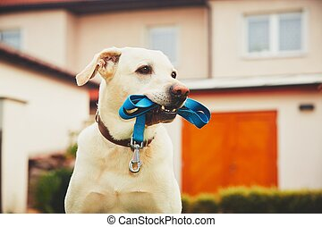 Dog with leash - Labrador retriever with leash is waiting...