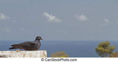 pigeon posing with the sea in the background - foreground of...