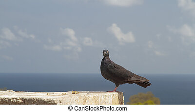 pigeon posing with the sea in the background - black pigeon...