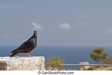 pigeon perched on a stone with sea in the background