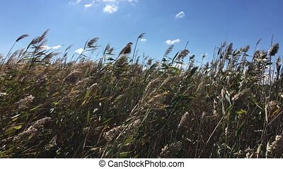 Thickets of reeds swaying on a strong wind in the afternoon,...
