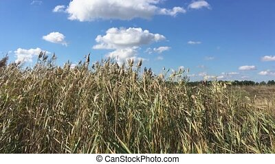 Bushes thick reeds swaying in a strong wind, clear day