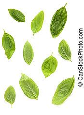 Fresh sweet basil leaves isolated on white background Sweet...