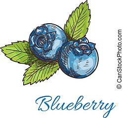 Blueberry fruits with leaves isolated sketch - Blueberry...