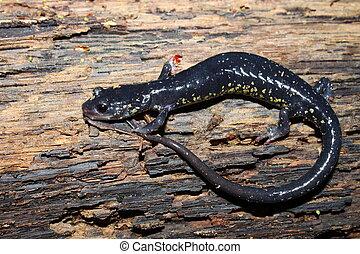 Slimy Salamander - northern Alabama