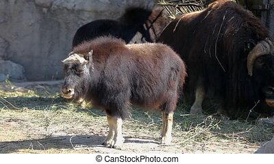 Musk ox walk in zoo