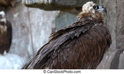 Black Vulture sit on rock