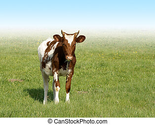 spotted calf on a green grass