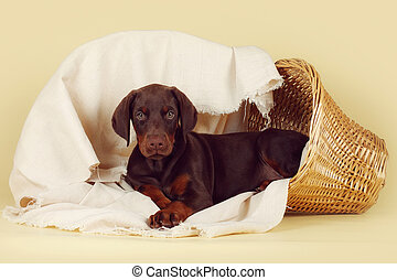 Beautiful purebred brown Doberman puppy is lying on a beige...