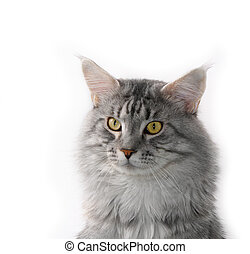 lovely grey maine coon cat