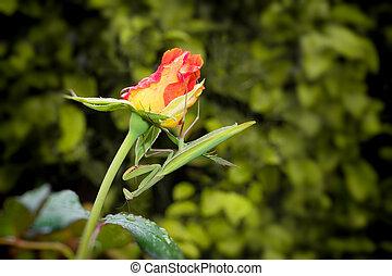 Green Praying Mantis on a Rose