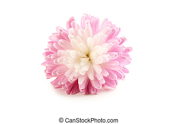 Chrysanthemum isolated on a white, close up