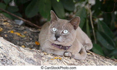Cute grey cat with collar with bell rubs against a tree and...
