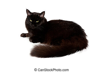 black maine coon cat against white background