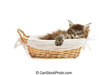 The small maine coon kitten - maine coon kitten in basket...