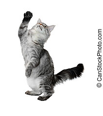 The grey cat costs with the lifted paw isolated on white...