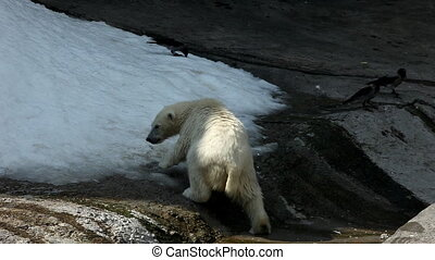 White bear eat snow in zoo