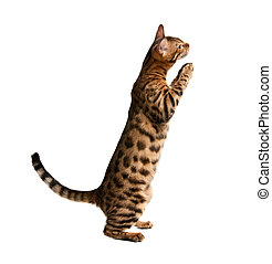 Bengal cat isolated on white background