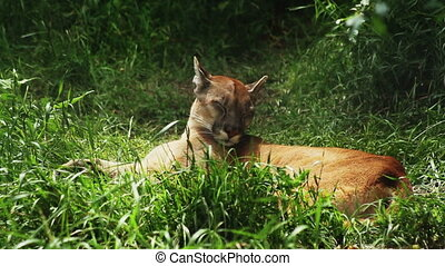 puma sleeping in the green grass at day