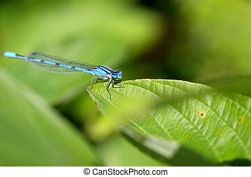 Northern Bluet Damselfly - Enallagma cyathigerum warming in...