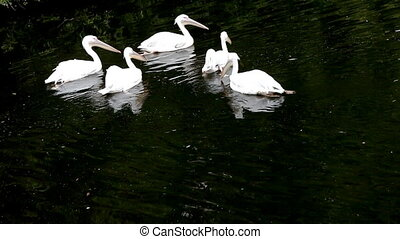 Group of pelican glide in row
