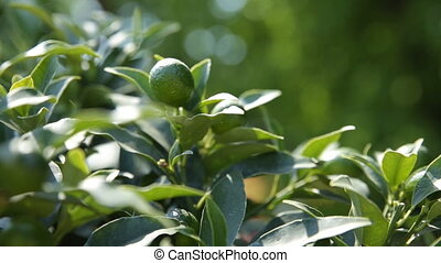 Fortunella japonica (cumquat). Natural background with...