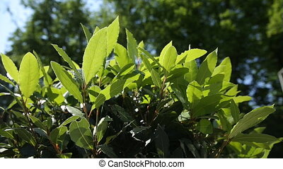 Laurel Laurus nobilis tree. Natural summer background with...
