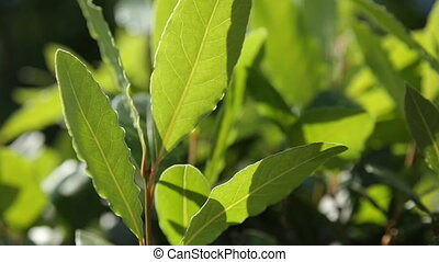 Laurel (Laurus nobilis) tree. Natural summer background with...