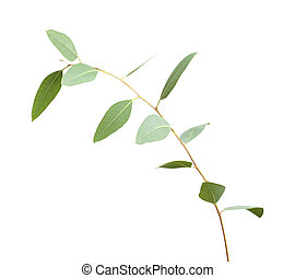 fresh green eucalyptus, young branch isolated on white...