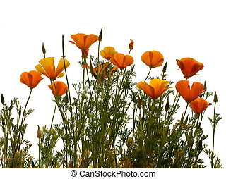 california golden poppy isolated on wihite background