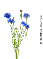 cornflower isolated on white background