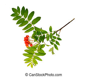 rowanberry against white background