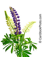 lupine - flowers lupine isolated on wihite background