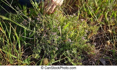 The girl picked thyme.