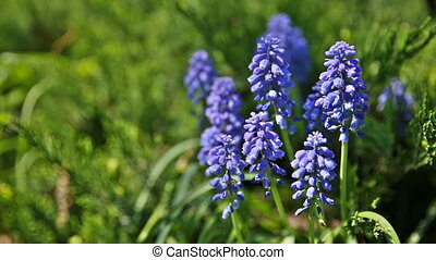Muscari flowers. Deep blue flowers on green natural...