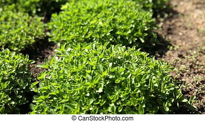 Thyme (Thymus) bushes on flower bed at sunlight. Spring or...