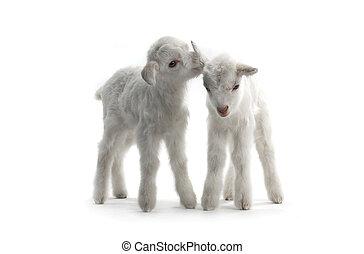 二,  goat