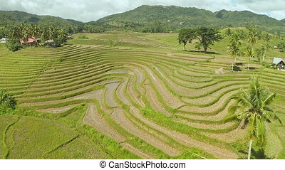 Rice fields in the Philippines. Aerial views. - Rice fields...