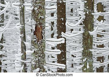 abete, neve, albero