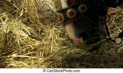 Two beautiful brown horses are eating hay. Close up