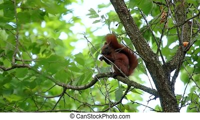 Squirrel on the tree gnawing on a nut, summer, Park.