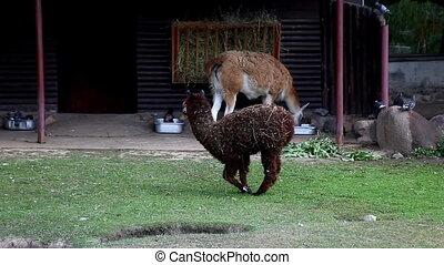 lama glama walk in zoo